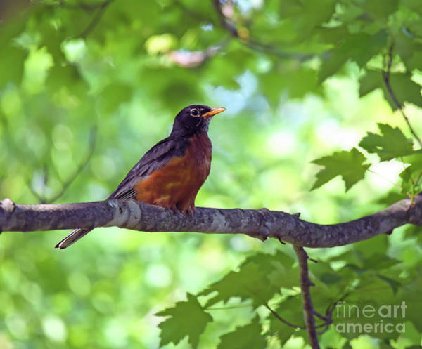 Photograph - A Welcome Visitor - American Robin by Kerri Farley