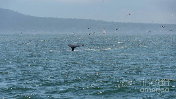Photograph - A Whale's Tail Above Water With Sail Boat In The Background by PorqueNo Studios