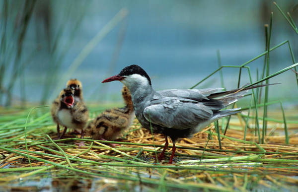 Wall Art - Photograph - A Whiskered Tern And Young At Their by Warwick Tarboton