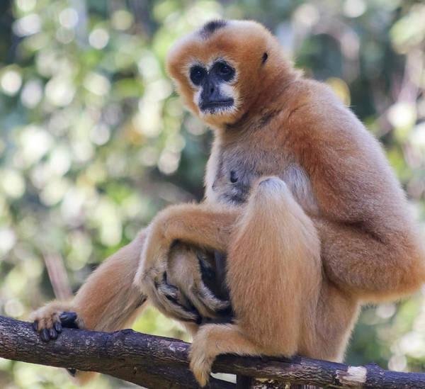 Living Things Photograph - A White Cheeked Gibbon, Chiang Mai, Thailand by Derrick Neill