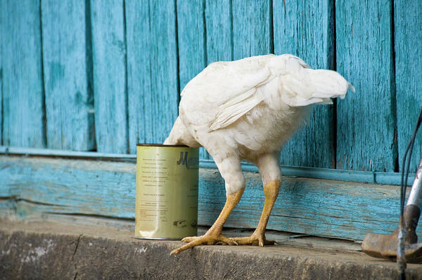 Ostrich Photograph - A White Chicken Thrusts Its Head Into A by Doug Meikle  Dreaming Track Images