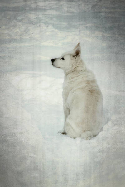 Photograph - A White Dog In Snow by Guy Whiteley