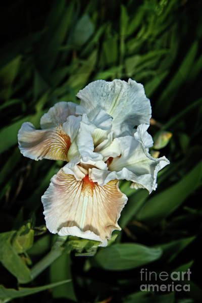 Wall Art - Photograph - A White Iris by Robert Bales