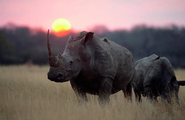 Adolescence Photograph - A White Rhino And Its Young Standing On by Gerald Hinde