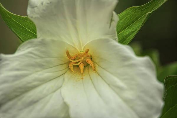 Photograph - A Woodland Trillium Macro by Dale Kauzlaric