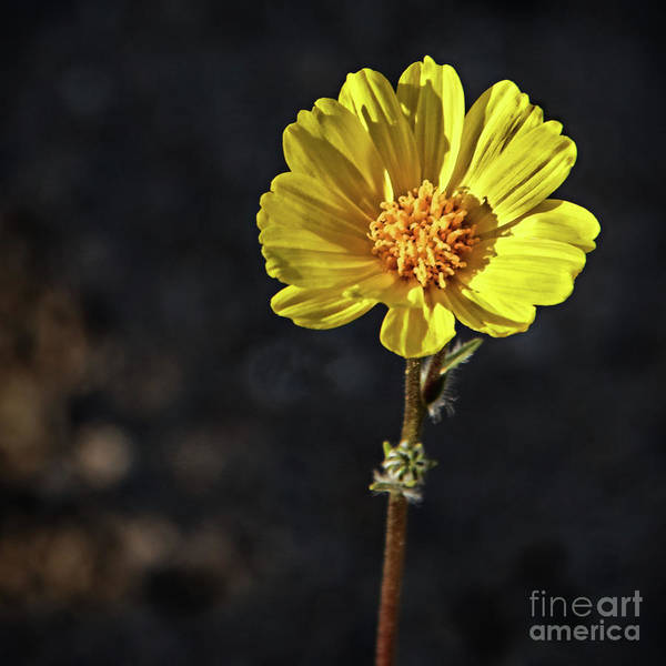 Juxtaposition Photograph - A Yellow Beauty by Robert Bales