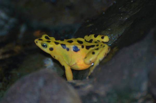 Digital Art - A Yellow Poison Dart Frog by Chris Flees