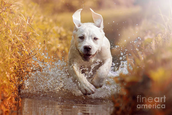 Wall Art - Photograph - A Young Labrador Retriever Dog Is by Manushot