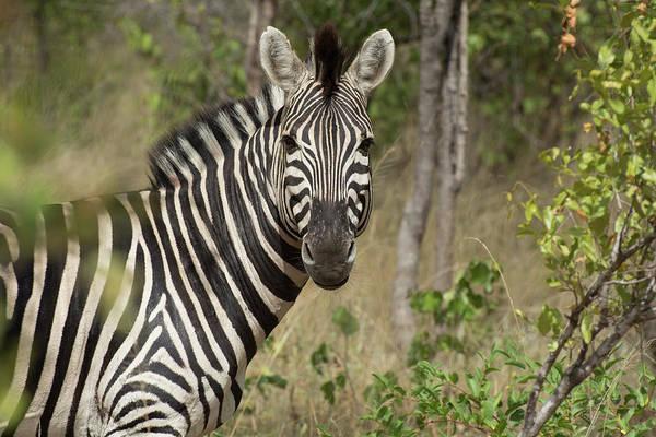 Photograph - A Zebras Glance by Mark Hunter