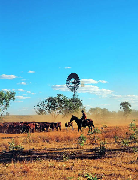 Horseman Photograph - Aboriginal Stockmen Mustering Cattle At by Australian Scenics