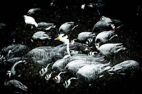 Wall Art - Photograph - Abstract Ducks And Geese by David Ridley