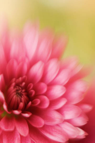 Photograph - Abstract Pink Chrysanthemum Soft Focus by Jpecha