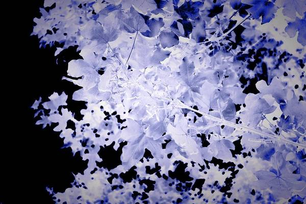 Photograph - Blue Tree Abstract, Dark Botanical Landscape Art, Blue, With Black Background by Itsonlythemoon