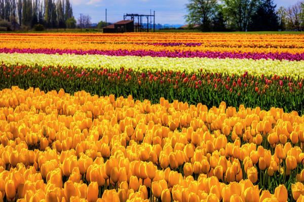 Wall Art - Photograph - Abundance Of Tulips by Garry Gay