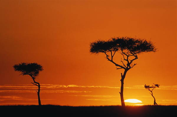 Silhouette Photograph - Acacia Trees Silhouetted In Orange by Manoj Shah