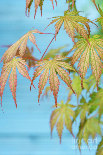 Photograph - Acer Palmatum Ariadne Foliage by Tim Gainey