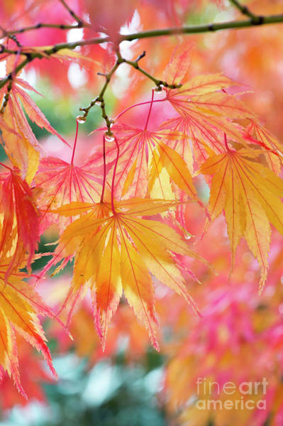 Wall Art - Photograph - Acer Palmatum Elegans In Autumn by Tim Gainey