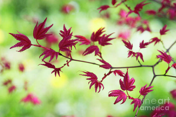 Wall Art - Photograph - Acer Palmatum Shin Chishio Leaves by Tim Gainey