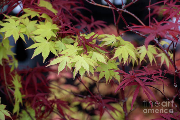 Photograph - Acer Palmatum Summer Gold Leaves by Tim Gainey