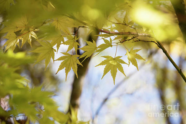 Wall Art - Photograph - Acer Sango Kaku Leaves In Autumn by Tim Gainey