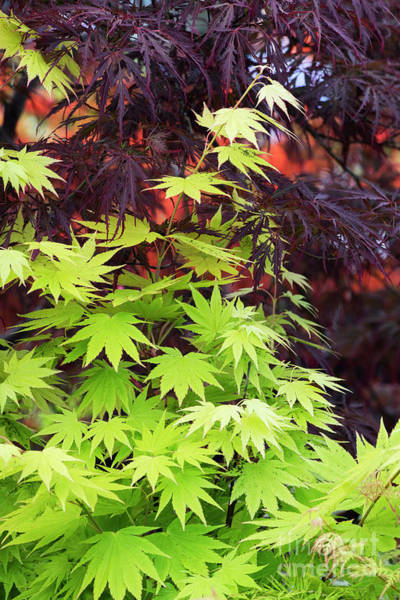 Wall Art - Photograph - Acer Shirasawanum Jordon Leaves by Tim Gainey
