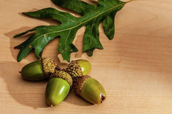 Photograph - Acorns From The Salem Oak Tree by Louis Dallara