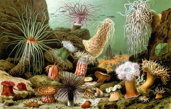 Blacklight Painting - Actiniaria  Various Examples Of Sea Anemones  1893 Print  by Celestial Images