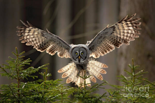 Wall Art - Photograph - Action Scene From The Forest With Owl by Ondrej Prosicky