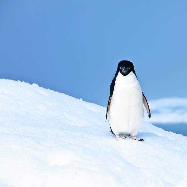 Residential Area Photograph - Adelie Penguin On Iceberg Paulet Island by Mof