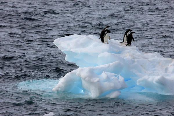 Wall Art - Photograph - Adelie Penguin Paulet Island, Antarctica by Tom Norring