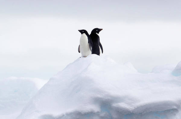 Ice Floe Photograph - Adelie Penguins Back To Back On Ice by Cultura Rf/brett Phibbs