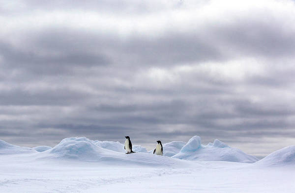 Ice Floe Photograph - Adelie Penguins On Ice Floe In The by Cultura Rm Exclusive/brett Phibbs