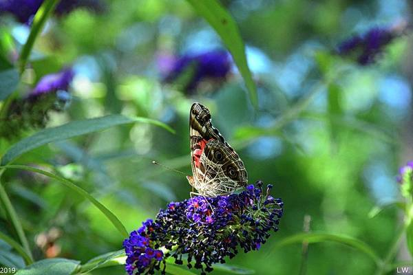Photograph - Admiral Butterfly by Lisa Wooten