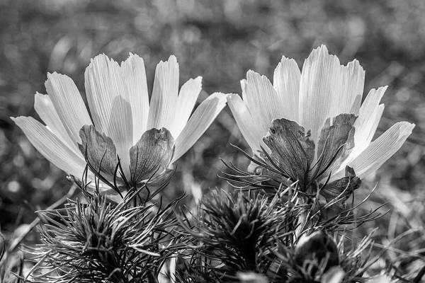 Photograph - Adonis Vernalis In Monochrome by Andreas Levi