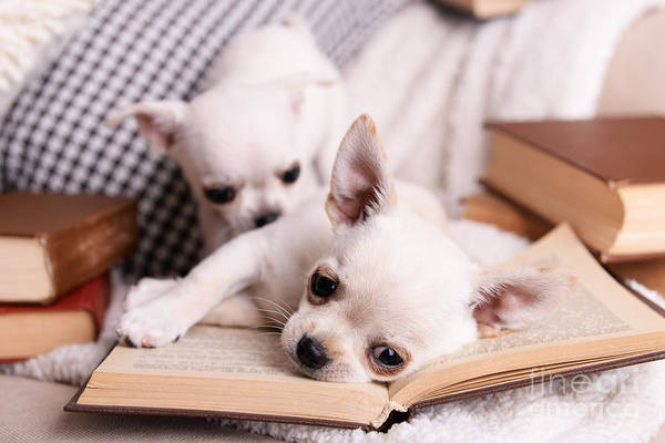 Adorable Chihuahua Dogs With Books On Art Print