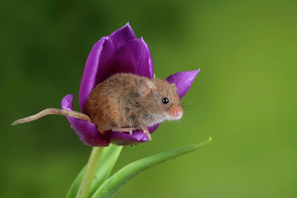 Wall Art - Photograph - Adorable Cute Harvest Mice Micromys Minutus On Purple Tulip Flow by Matthew Gibson