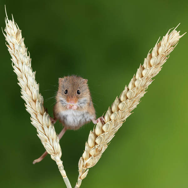 Wall Art - Photograph - Adorable Cute Harvest Mice Micromys Minutus On Wheat Stalk With  by Matthew Gibson