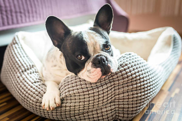 Bed Wall Art - Photograph - Adorable French Bulldog On The Lair by Patryk Kosmider