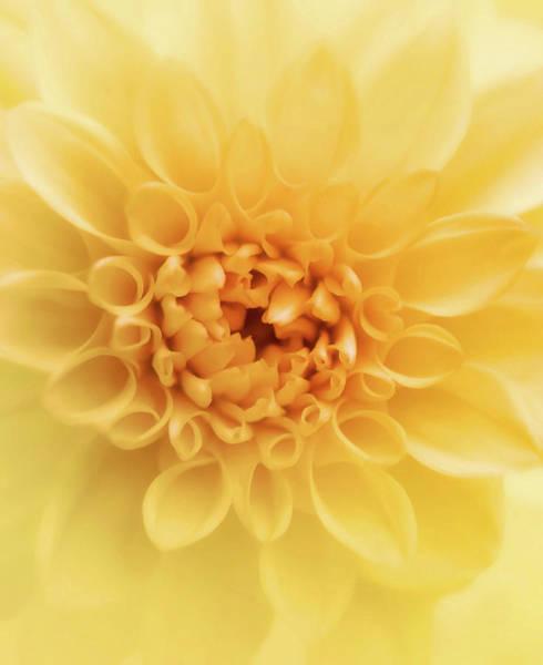 Wall Art - Photograph - Adorable Golden Dahlia  by Johanna Hurmerinta