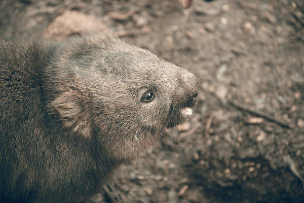 Photograph - Adorable Large Wombat During The Day Looking For Grass To Eat by Rob D Imagery