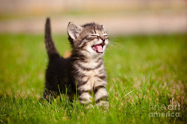 Playing Field Wall Art - Photograph - Adorable Meowing Tabby Kitten Outdoors by Otsphoto