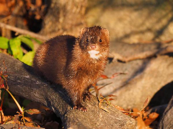 Photograph - Adorable Mink by James Peterson