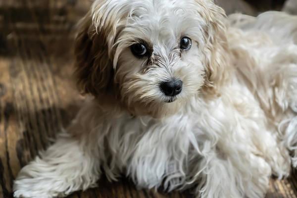 Photograph - Adorable Puppy Look  by Sven Brogren