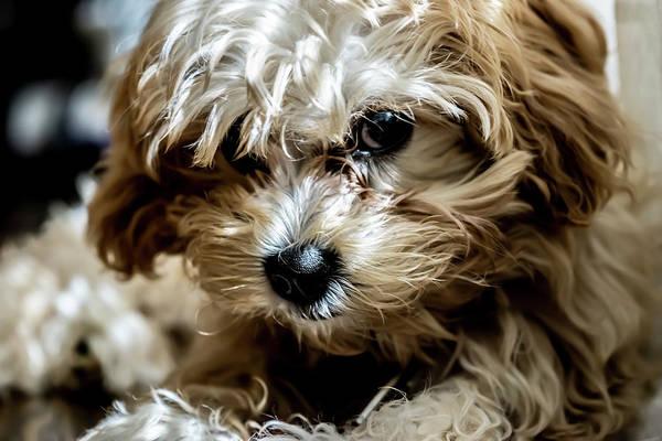 Photograph - Adorable Puppy Looking by Sven Brogren