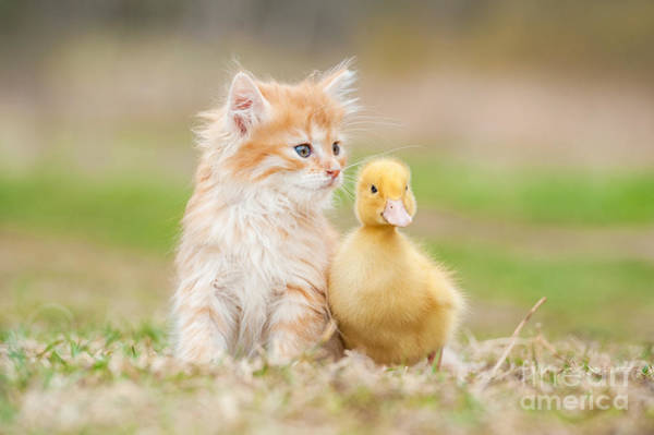 Wall Art - Photograph - Adorable Red Kitten With Little Duckling by Grigorita Ko