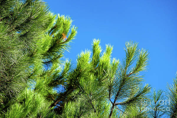 Photograph - Adriatic Pine Against Blue Sky  by Marina Usmanskaya