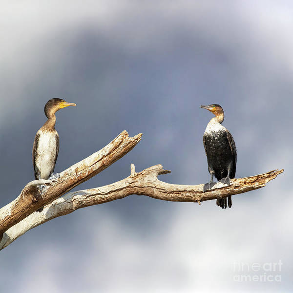 Wall Art - Photograph - Adult And Juvenile Cormorants At Lake Naivasha by Jane Rix