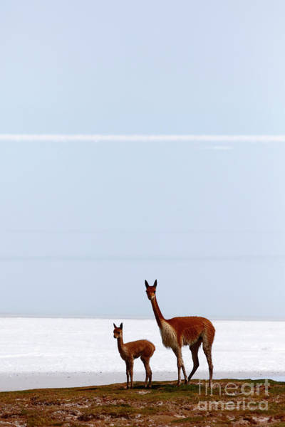 Photograph - Adult And Young Vicuna by James Brunker
