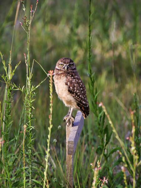 Photograph - Adult Burrowing Owl by Rosalie Scanlon