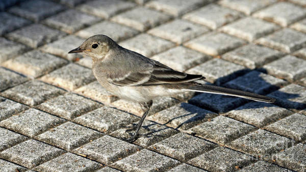 Photograph - Adult Female White Wagtail Standing by Pablo Avanzini